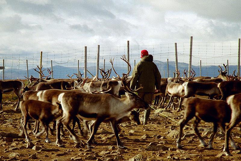 800px-Reindeer_herding