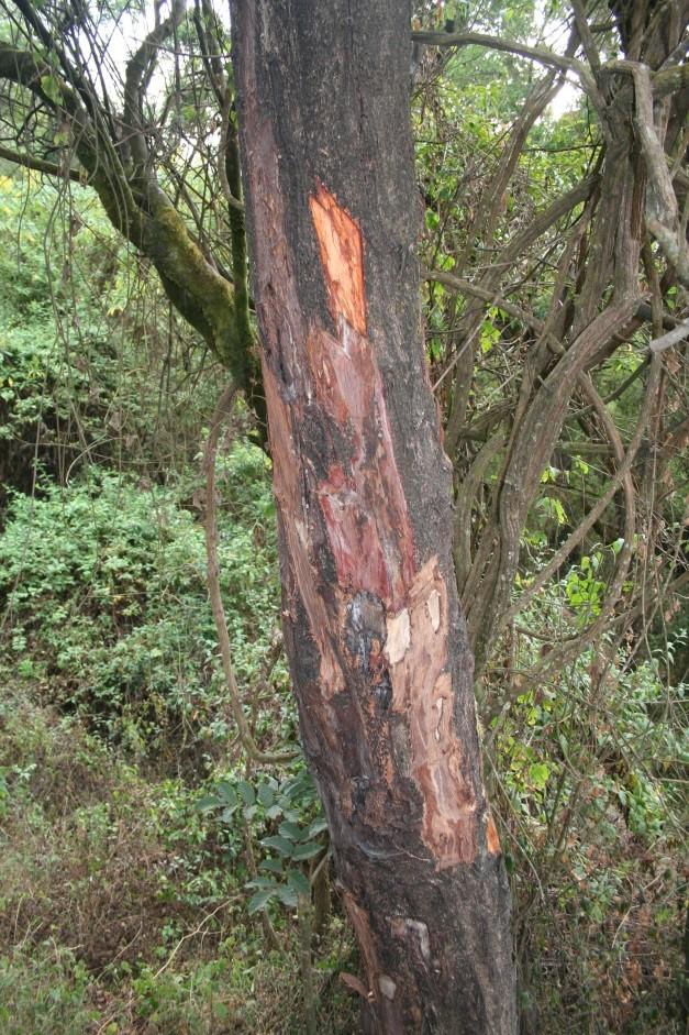 afrikai-szilvafa-prunus-africana
