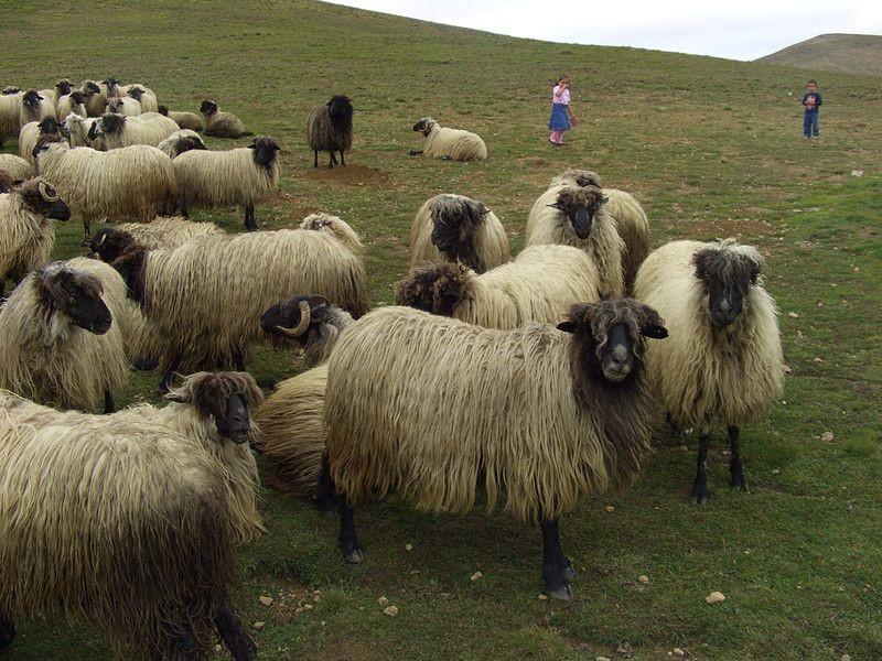 karayaka-sheep